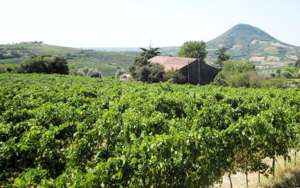 Azienda Agricola Biologica Mutta Massimo, Cortelà di Vò sul versante nord-ovest dei Colli Euganei.
